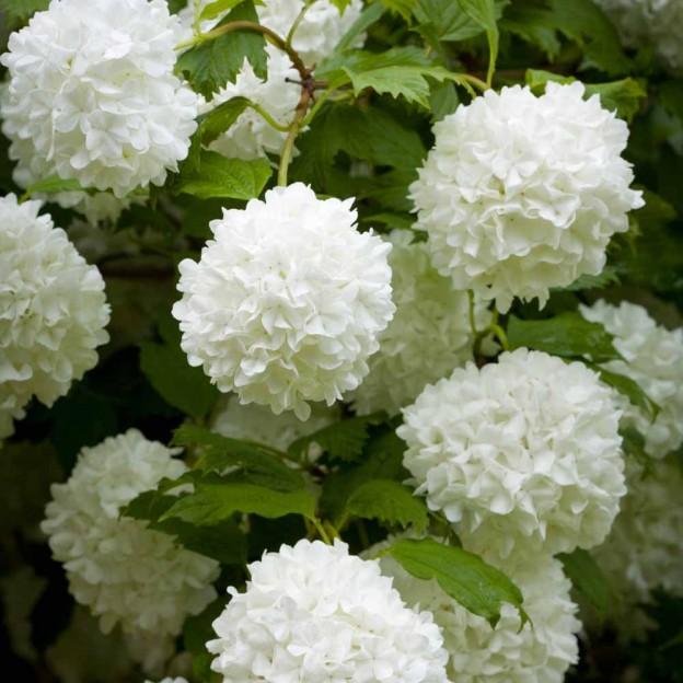 21-30082013-140034-plant-viburnum-opulus-004